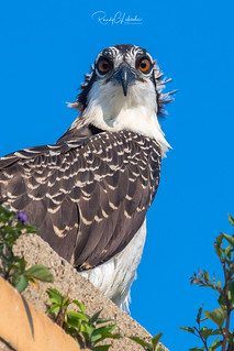 Osprey of the Jersey Shore | 2018 - 39