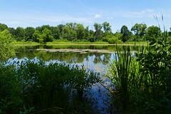 DRAGONFLY COUNTRY...SUMMIT COUNTY, OHIO (fstopfinatic) Tags: panasonicfz1000 park scene graceful calm nature outdoor summitcountyohio lake pond bog marsh swamp water moss algae grass cattails spatterdock