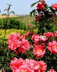 Beauty in Napa Valley (moniquef123) Tags: flowers summer pink green napavalley california nature landscape vineyard closeup