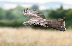 Black Kite in Reg's Meadow (Jez B) Tags: hawk conservancy andover bird birds prey eagle owl black kite regs reg meadow