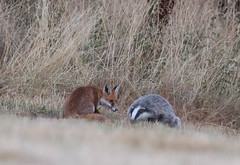 Red Fox Vulpes vulpes Badger Meles meles 005-1 (cwoodend..........Thanks) Tags: wildlife warwickshire warwickshirewildlife 2018 fox redfox vulpesvulpes eurasianbadger badger europeanbadger melesmeles