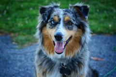 Happy Pupper! (flashfix) Tags: july202018 2018inphotos ottawa ontario canada nikond7100 55mm300mm sock dog canine animal pet austrailanshepherd triaustrailanshepherd bluemerle tricolour heterochromia door