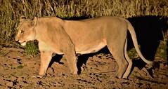 Night walk. (pstone646) Tags: lioness bigcat feline nature wildlife animal predator southafrica safari africa bigfive nighttime mammal fauna waterhole