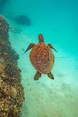 Heron Island Turtle-13 (Quick Shot Photos) Tags: aquatechimagingsolutions canon canoncollective heronisland padi queensland scuba underwater snorkel bogie australia au