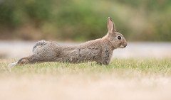 Stretching wild rabbit bunny (Wouter's Wildlife Photography) Tags: wildrabbit rabbit rodent animal mammal nature naturephotography wildlife wildlifephotography ameland oryctolaguscuniculus stretching bunny young