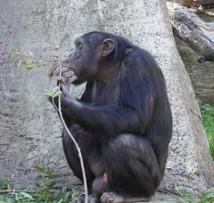 A little morning snack (boeckli) Tags: tarongazoo sydney tier tiere affe schimpanse chimpanzee newsouthwales australia animal animals ape outdoor zoo fur fell rx100m6 7dwf