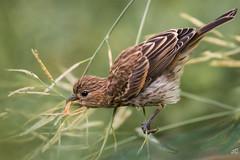 Fresh Is Better (jgaosb) Tags: sparrow bird feeding vegetableseedsbackyard
