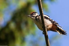Great spotted woodpecker - Käpytikka - Dendrocopos major (Peltsu) Tags: dendrocoposmajor käpytikka greatspottedwoodpecker