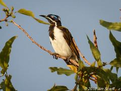 Blue-faced Honeyeater (adult) (Jim Scarff) Tags: australianbirds bluefacedhoneyeater entomyzoncyanotis honeyeaters passerines northernterritory australia exif:lens=ef100400mmf4556lisiiusm14xiii exif:aperture=ƒ32 camera:make=canon geocity geo:country=australia geo:state=northernterritory exif:isospeed=800 exif:focallength=520mm geo:lon=13183519666667 geolocation exif:model=canoneos7dmarkii geo:lat=13822211666667 camera:model=canoneos7dmarkii exif:make=canon