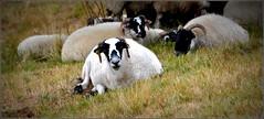 pour mon amie du Nord ! (Save planet Earth !) Tags: mouton amcc ardèche nikon
