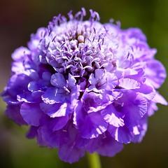 Scabiosa (rustyruth1959) Tags: lavenderblue lavender blue stamen nature plant petals closeup macro round square flower saturdayselfchallenge ssc pincushion pincushionflower scabious bluenote scabiosa gardens brobury broburyhouseandgardens herefordshire england uk sigma105mmmacro nikond5600 nikon