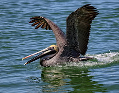 Graceful Landing (Darts5) Tags: maturebrownpelican brownpelican brownpelicans pelican pelicans bird birds bif birdinflight seabird sea seashore gulfofmexico 7d2 7dmarkll 7dmarkii 7d2canon ef100400mmlll canon7d2 canon7dmarkll canon7dmarkii canon canonef100400mmlii
