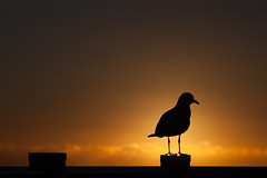 Gull on fence at dawn (Mikey Down Under) Tags: australia australian bird bright coast coffs contrejour dawn daybreak gull headland northcoast northern nsw ocean orange pacific seagull silhouette silhouetted silver sun sunrise wild wildlife woolgoolga