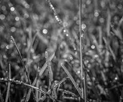197:365 - Dew (LostOne1000) Tags: grass blackandwhite plants nature pentaxlenses technicalphotography equipment 3652018 365the2018edition macro monochrome camera pentax photography 365challenge july 160718 pentax50f28macro pentaxk1 cy365 day197365 marion iowa unitedstates us