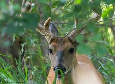 White-tailed Deer buck. (Estrada77) Tags: whitetailedbuck furrycreatures mammals deer wildlife outdoors jul2018 summer2018 nikond500200500mm kanecounty