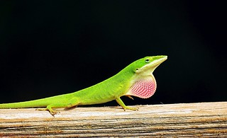 Only Native Anole In The United States.