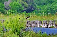 617 - Bastia au bord de la lagune (paspog) Tags: bastia corse lagune oiseau corsica bird vogel france mai may 2018