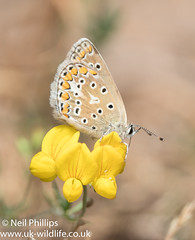 brown argus (Neil Phillips) Tags: ariciaagestis insecta arthropod arthropoda brownargus bug butterfly hexapod insect invertebrate