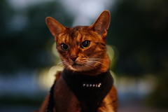 Lizzie in the dark (DizzieMizzieLizzie (Down for a while)) Tags: abyssinian aby lizzie dizziemizzielizzie portrait cat feline gato gatto katt katze kot meow pisica sony neko gatos chat a6500 fe ilce6500 ilce 2018 bokeh pet animal dof sigma f14 dg hsm art 018 50mm summer night square hot heat dark evening