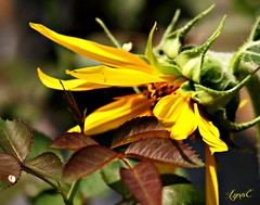 Sweet Sunflower from the bird feeder (Lynn English) Tags: sunflower seed yellow