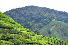 8H1_0010009 (kofatan (SS Tan) Tan Seow Shee) Tags: malaysia pahang cameronhighland bohplantation sungeipalas copthornehotel brinchang paritfalls bharatteaplantation robinsonfall kofatan