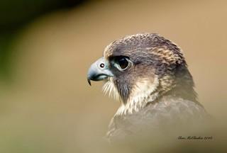 Peregrine Falcon ( In Explore 26/7/18 )