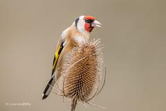 Goldfinch D85_2619.jpg (Mobile Lynn) Tags: birds goldfinch finch nature bird fauna fringilladae oscines passeri passeriformes songbird songbirds wildlife coth specanimal ngc coth5 npc