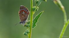 Common blue (Polyommatus icarus) (BraCom (Bram)) Tags: 169 bracom bramvanbroekhoven depthoffield dof goereeoverflakkee holland icarusblauwtje icarusblauwtjepolyommatusicarus insect nederland netherlands polyommatusicarus sigma150mmf28macro southholland zuidholland blad butterfly dauw dew droplets druppels halm leaf macro morning nature natuur ochtend plant stengel sunrise vlinder widescreen zonsopkomst summer zomer sommer dewdrops dauwdruppels été