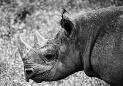 YWP: Black Rhino (Adrian.W) Tags: ywp yorkshirewildlifepark wildlifepark zoo yorkshire southyorkshire england blackwhite monochrome mono wildlife mammal panasonic lumix gx80 mirrorless 100300mm rhino rhinoceros blackrhino endangered