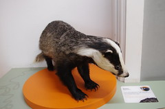IMGP9059 (Steve Guess) Tags: horniman museum forest hill london england gb uk badger