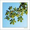 Kastanie _ Chestnut (Badenfocus_Thanks for 975k views) Tags: kastanie chestnut harz hahnenklee badenfocus blau himmel sky blatt fujifilmx20 baum tree