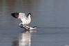 Avocettes élégante (gilbert.calatayud) Tags: avocetteélégante charadriiformes piedavocet recurvirostraavosetta récurvirostridés bird oiseau parc ornithologique du pont de gau camargue