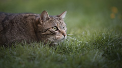 Ika (Katarina Drezga) Tags: cats cat catphotography petphotography pets pet felines domesticcat animals