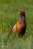 pheasant (Leo Kramp) Tags: 2018 vogels accessoires wandelen gitzogt3542ltripod dieren natuurfotografie weegje benrogimbalheadgh2 flickr fazant
