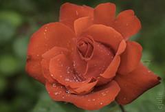 (cjuliecmoi) Tags: fleur macro roserouge rouge nature macrophotographie macrophotography