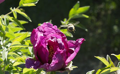 on approach (toivo_xiv) Tags: floral flower flowers purpleflowers insect bee purple violet nature garden kyiv ukraine