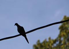 Mourning Dove silhouette  (Explored-Thank You!! ) (outdoorpict) Tags: tree green blue sky wire dove mourning silhouette patience evening watching outdoors