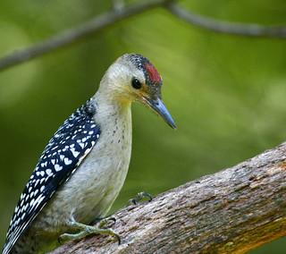 Red-bellied-Woodpecker-57w