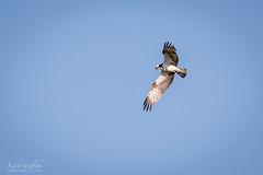 Osprey (Photography - KG's) Tags: rspb wildlife osprey reserve bird birds animals brandonmarsh nature