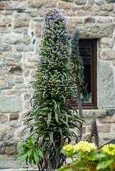 Barnenez (Finistère) (PierreG_09) Tags: bretagne finistère flor flore fleur plante vipérinedemadère echiumcandicans boraginacée