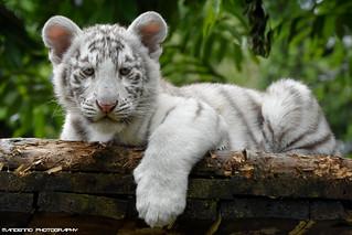 Bengal white tiger cub - Zoo Amneville