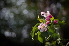 Meyer Optik Trioplan f2.9/50mm   EOS M5 (towytopper) Tags: meyer optik trioplan blüte blüten frühling bubbles grün bäume