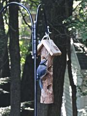 Bluejay on Bird Feeder (hbickel) Tags: bluejay birdfeeder canont6i canon photoaday pad clouds