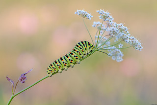 *Swallowtail caterpillar @ bokeh photography*