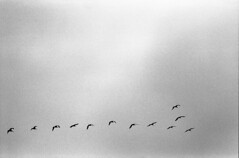 in only a few words (m_travels) Tags: плёнка kodaktrix400 birds sky sea ocean dreamy poetry flyingaway filmgrain analog argentique nature blackandwhite filmphotography bnw 35mmfilm vformation minimalism