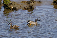 Blue-winged Teals (Trent Bell) Tags: bird birdwatching bolsachica ecologicalreserve wetlands california socal 2018 bluewingedteal duck