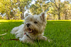 Staying cool (dmunro100) Tags: paxo westie westhighlandterrier hazelwoodpark adelaide autumn
