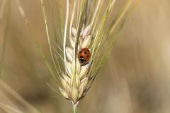 ladybug (Bea Antoni) Tags: macro makro canon sommer summer ähre field feld insekt insect natur nature käfer marienkäfer beetle ladybug