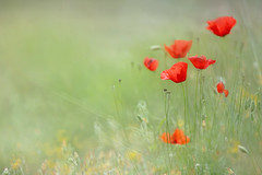 Poppies in The Meadow (lfeng1014) Tags: poppiesinthemeadow poppies redpoppies meadow summermeadow ancientagora athens greece macro macrophotography flower closeup bokeh canon5dmarkiii ef70200mmf28lisiiusm dof depthoffield light lifeng