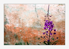 Fireweed is everywhere (overthemoon) Tags: utata:project=tw638 france stmarcel savoie hamlet thursdaywalk épilobe fireweed wall colourful purple orange frame stmartindebelleville